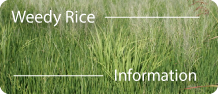 weedy-rice-info-graphic